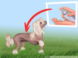 aid7386406-v4-728px-Care-for-Chinese-Crested-Dogs-Step-1